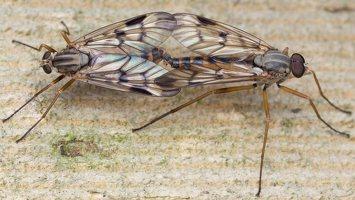 Rhagionidae · slankmusės 1637