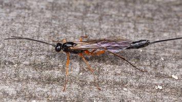 Hymenoptera · plėviasparnis 1644