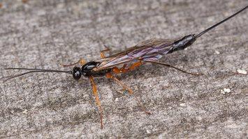 Hymenoptera · plėviasparnis 1645