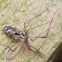 Salticus cingulatus female · baltašonis šokliavoris ♀ 1656