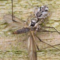 Salticus cingulatus female · baltašonis šokliavoris ♀ 1657
