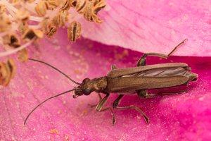 Oedemera virescens male · laibavabalis ♂ 1665