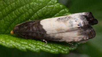 Notocelia cynosbatella · dvispalvė notocelija 1666