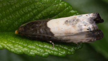 Notocelia cynosbatella · dvispalvė notocelija 1667