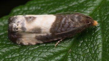 Notocelia cynosbatella · dvispalvė notocelija 1678