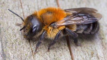 Megachilidae · bitės lapkirpės