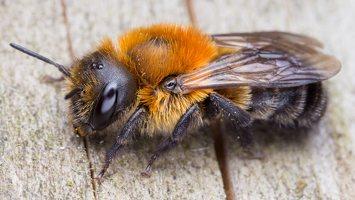 Osmia uncinata · bitė 1693