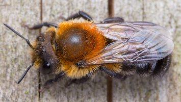 Osmia uncinata · bitė 1694