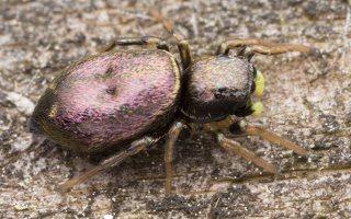 Heliophanus auratus, female · auksaspalvis žėrūnas ♀ 1701