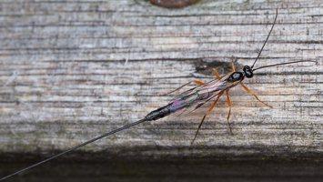 Hymenoptera · plėviasparnis 1704