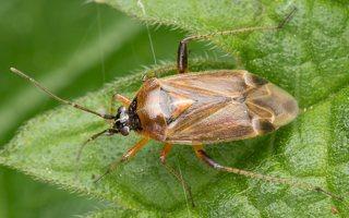Harpocera thoracica female · žolblakė ♀ 1714