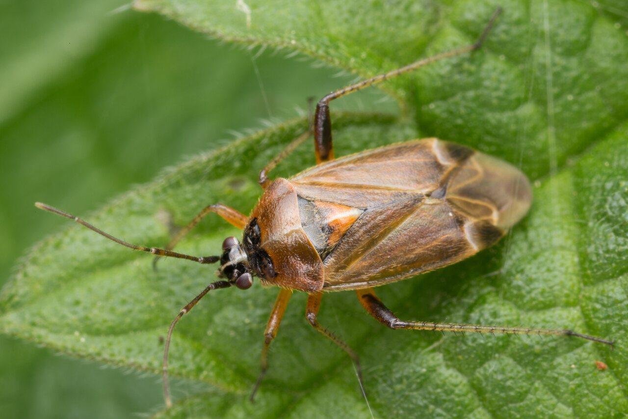 Harpocera thoracica female · žolblakė ♀ -- 1715