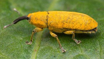 Curculionidae · straubliukai