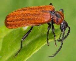 Schizotus pectinicornis · šukaūsis raudonvabalis 1733