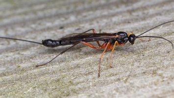 Hymenoptera · plėviasparnis 1746