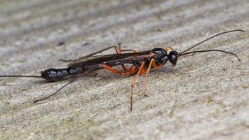 Hymenoptera · plėviasparnis 1747