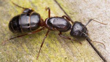 Formicidae · skruzdėlės 1755