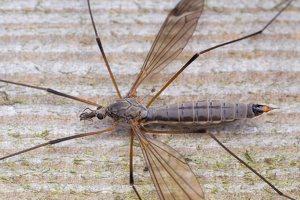 Tipulidae · ilgakojis uodas 1760