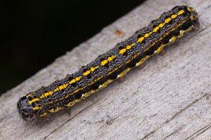 Orthosia miniosa caterpillar · baltasparnis ankstyvasis pelėdgalvis, vikšras 1767