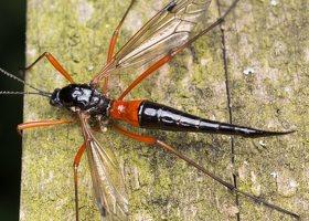 Tanyptera atrata female · ilgakojis uodas ♀ 1788