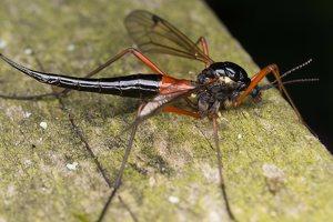 Tanyptera atrata female · ilgakojis uodas ♀ 1789