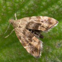 Anthophila fabriciana · dilgėlinė lapsukinė kandis 1801