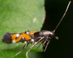 Momphidae · tamsiosios čiuopiklinės kandys