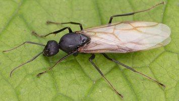 Formicidae · skruzdėlės 1804