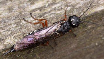 Hymenoptera · plėviasparnis 1805