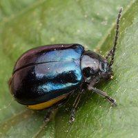 Agelastica alni female · mėlynasis alksniagraužis ♀ 1807