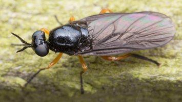 Beris clavipes female · plokščiamusė ♀ 1819