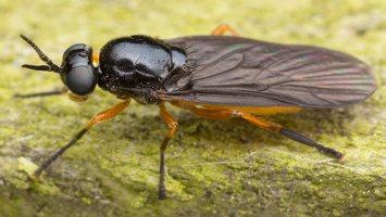 Beris clavipes female · plokščiamusė ♀ 1820