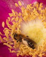 Hymenoptera · plėviasparnis 1827