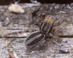 Phlegra fasciata · šokliavoris