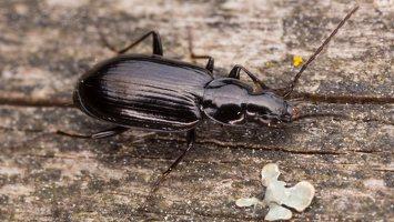 Carabidae · žygis 1890
