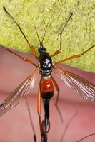 Tanyptera atrata female · ilgakojis uodas ♀ 1892