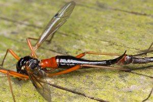 Tanyptera atrata female · ilgakojis uodas ♀ 1894