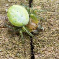 Araniella cucurbitina · raudondėmis voriukas 1901