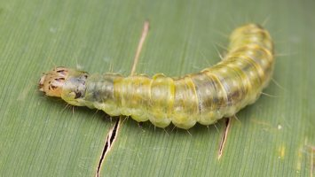 Pandemis cerasana caterpillar · serbentinis pandemis, vikšras 1922