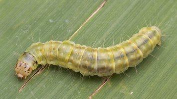 Pandemis cerasana caterpillar · serbentinis pandemis, vikšras 1923