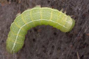 Cosmia trapezina caterpillar · sodinis pelėdgalvis, vikšras 1929