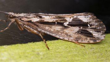 Phryganea grandis female · apsiuva  ♀ 2016