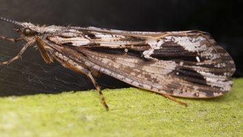 Phryganea grandis female · apsiuva  ♀ 2017