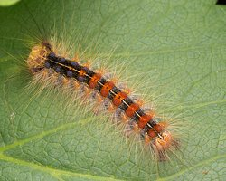 Lymantria dispar caterpillar · neporinis verpikas, vikšras 2022
