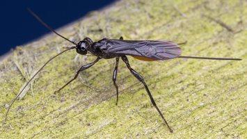 Hymenoptera · plėviasparnis 2032