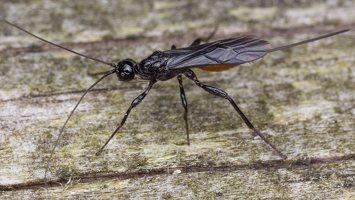 Hymenoptera · plėviasparnis 2034