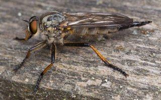 Asilidae · musė plėšrūnė 2343
