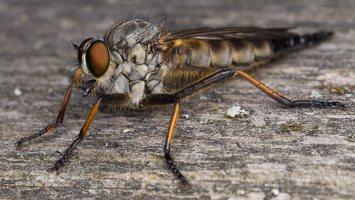 Asilidae · musė plėšrūnė 2344