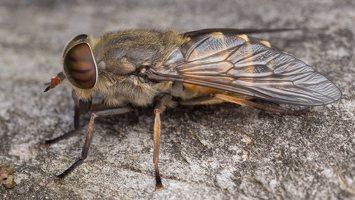 Tabanidae · sparvos 2350