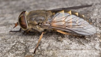 Tabanidae · sparvos 2352